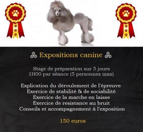 exposition canine préparation