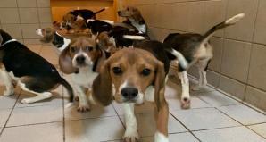 Beagles labo