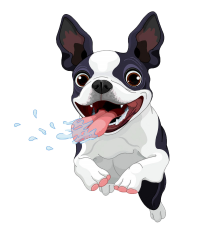 Terrier boston